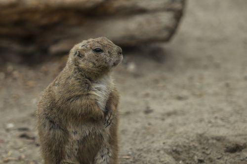 prairie dog zoo cute