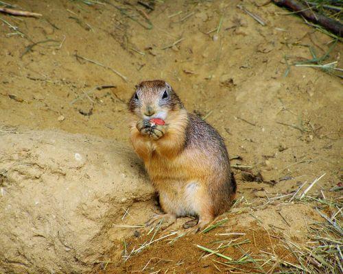 prairie dog mammal residential wells