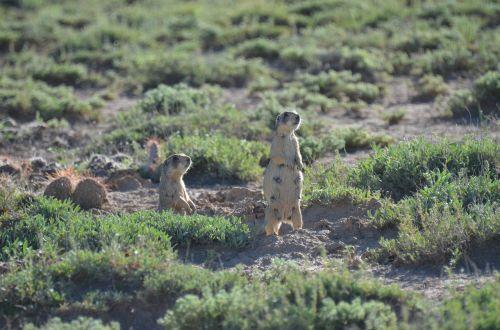 prairie dog prairie desert