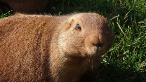 prairie-dog animal mammal