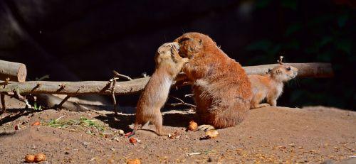 prairie dog animal rodents