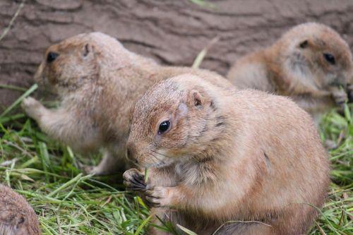 prairie dog animal cute