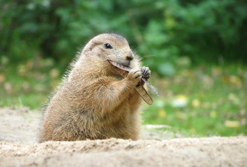 prairie dog wildlife park rodents