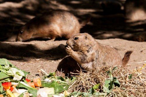 prairie dog  animal  rodent