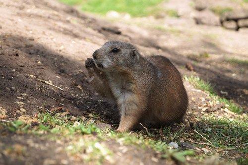 prairie dog  black-tailed prairie dog  rodent