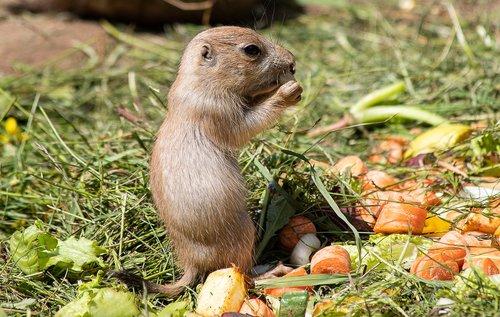 prairie dog  rodent  animal