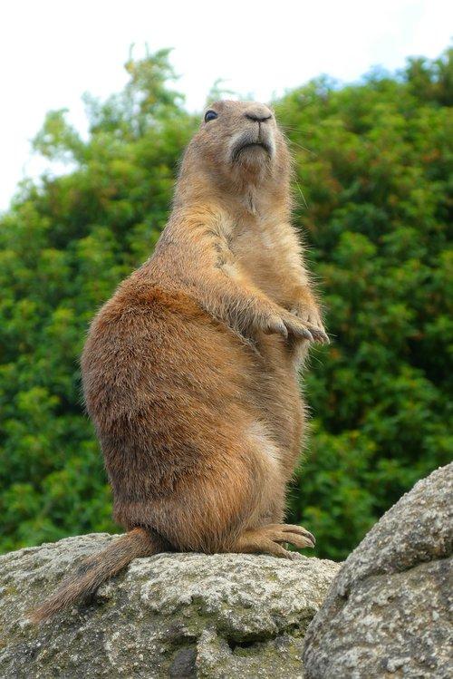 prairie dog  watch  lookout