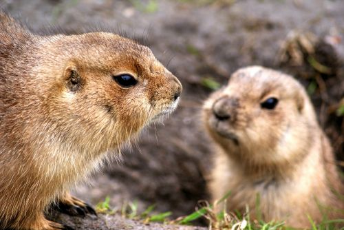 prairie dog rodent zoo