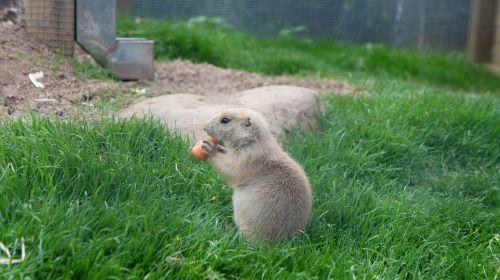 prairie dog eating baby