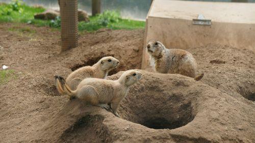 prairie dog family nature