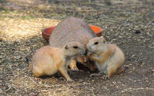 prairie dog gophers croissant