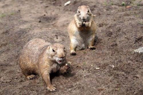 prairie dogs rodents animals