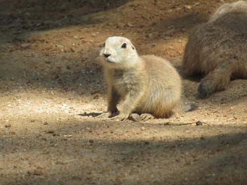 prairie dogs  zoo  cub