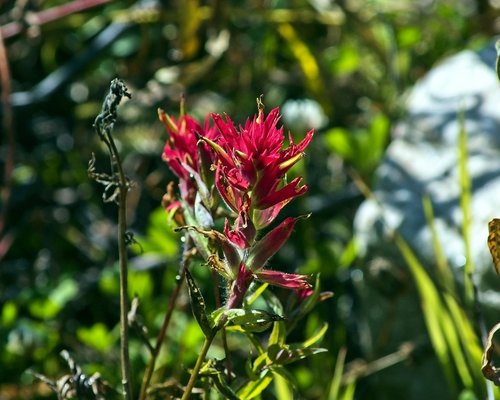 prairie-fire wildflower  indian paintbrush  wildflower