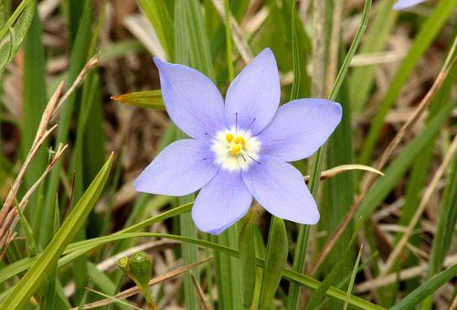 Prairie Pleatleaf Iris Wildflower