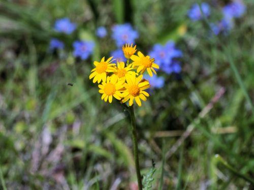 Prairie Ragwort Wildflowers 2