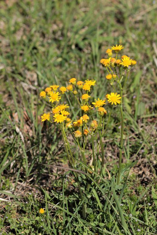 Prairie Ragwort Wildflowers
