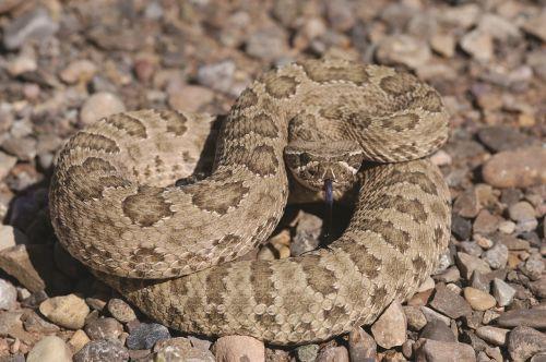 prairie rattlesnake viper poisonous