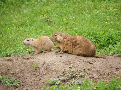 gyvūnas, gyvūnai, zoologijos sodas & nbsp, gyvūnas, zoologijos & nbsp, gyvūnai, Prairie & nbsp, šuo, Prairie & nbsp, šunys, prerijų šunys