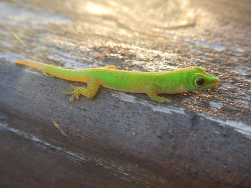 praslin gecko green