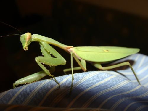 praying mantis mantids