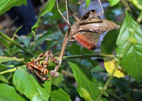 praying mantis paper wasp duel