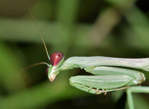 praying mantis mantis insect