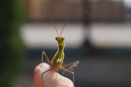 praying mantis bug nature