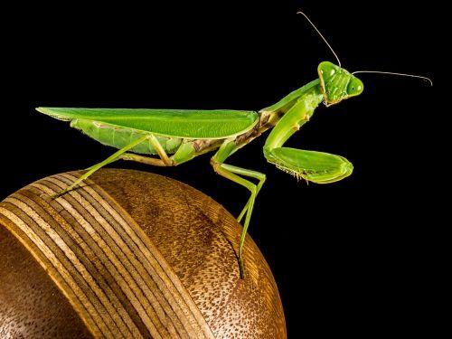 praying mantis fishing locust green