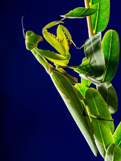 praying mantis fishing locust mantis religiosa