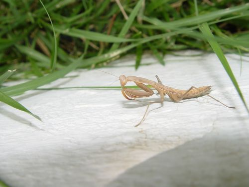 praying mantis mantis religiosa insecto