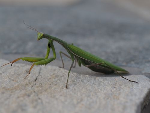 praying mantis green insect