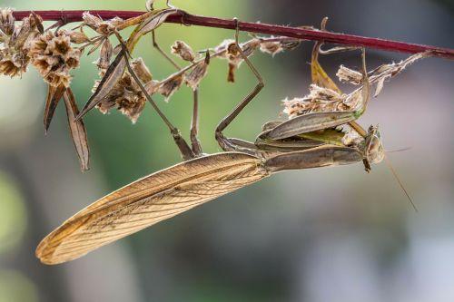 praying mantis insect macro