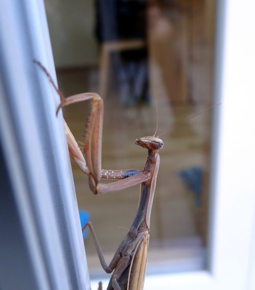 praying mantis insect scare