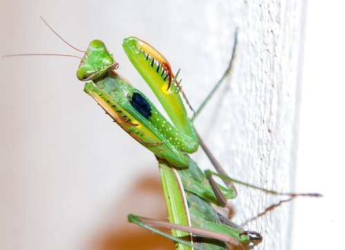 praying mantis  animals  insect