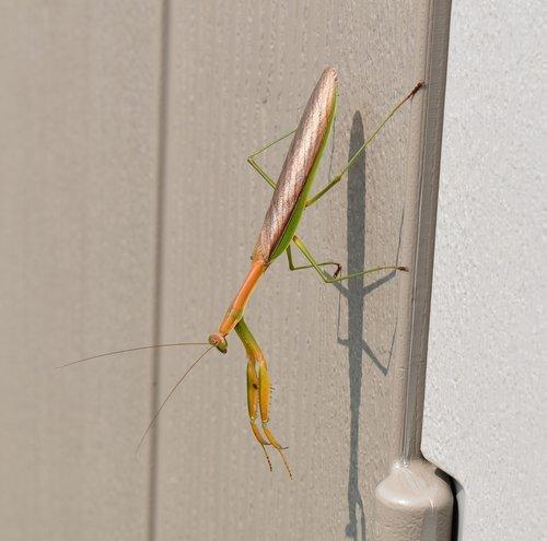 praying mantis  insect  nature