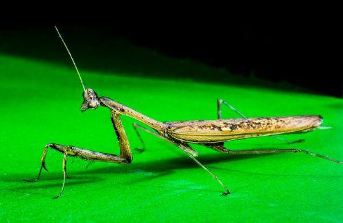 praying mantis fishing locust close