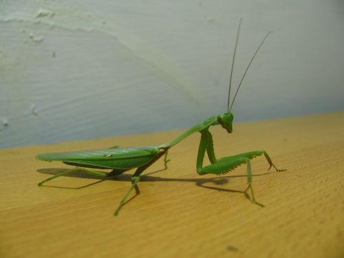 praying mantis insect mantis