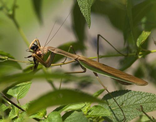 praying mantis fishing locust mantodea