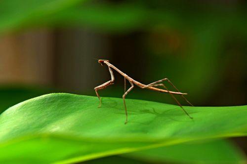 praying mantis stick insect bug