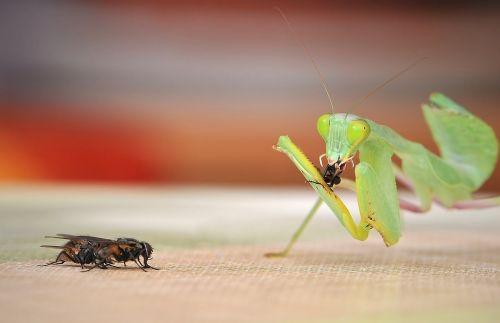 praying mantis sphodromantis lineola fishing locust