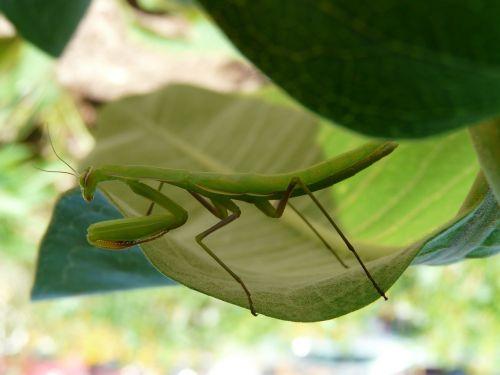 praying mantis green milkweed