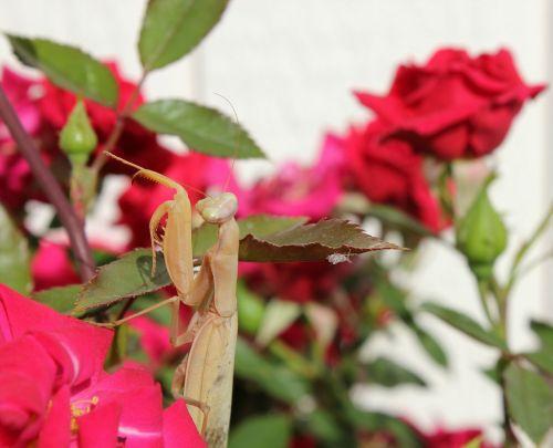 praying mantis macro garden