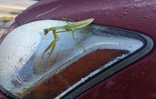 praying mantis insect headlight