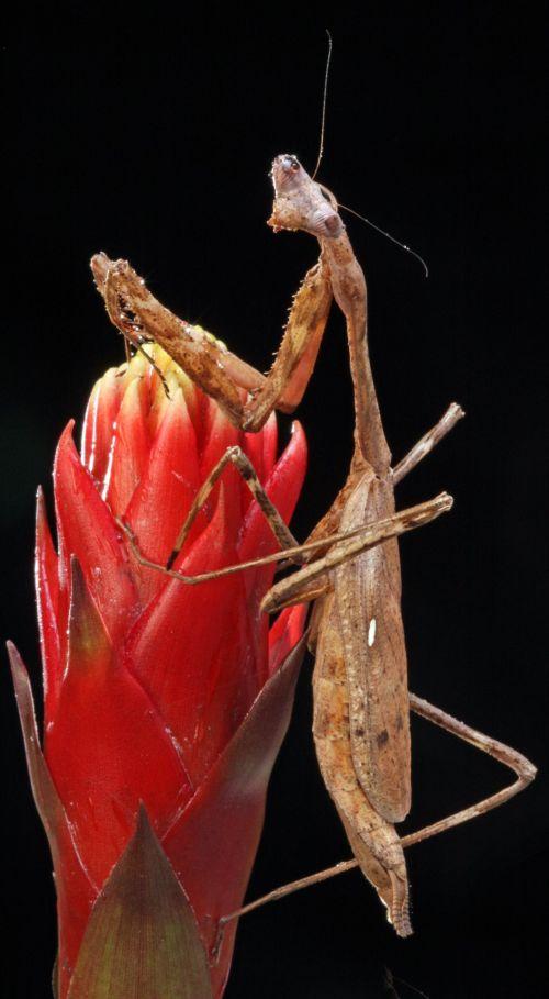 Praying Mantis Close-up