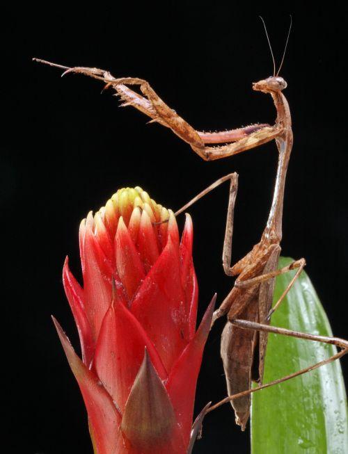 Praying Mantis Conducting Orchestra