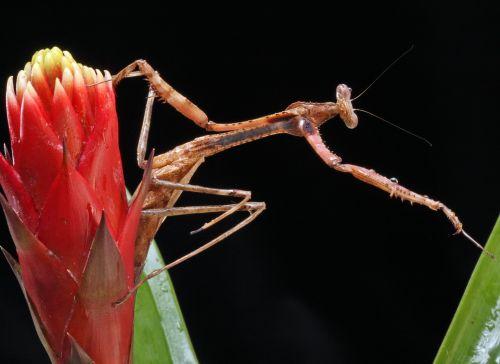 Praying Mantis Macro Portrait