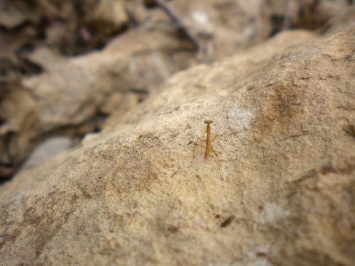 Praying Mantis On Rock