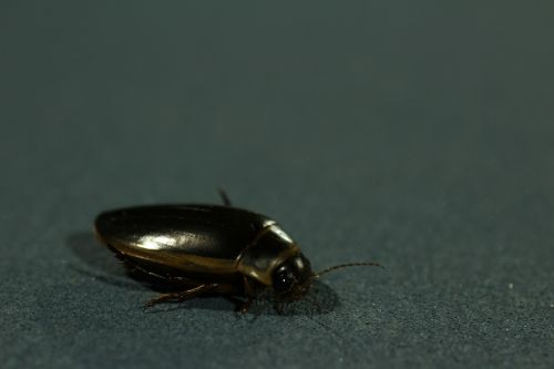 Predaceous Diving Beetle Bug