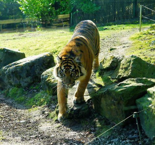 predator tiger sumatran tiger